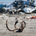 This is a caribou head in the dump. An example of the subsistence traditions. (Photo courtesy of Colton Stevens)